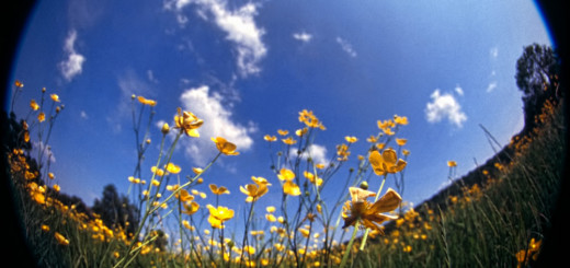 Looking up at the buttercups