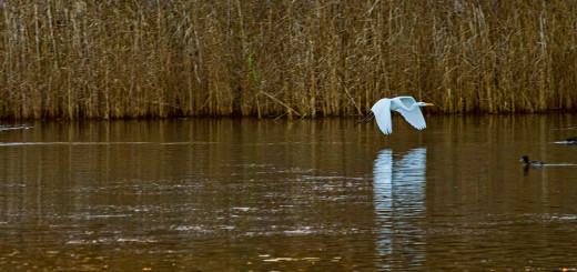 Great White Egret in flight 2