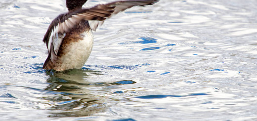 Tufted Duck Conductor
