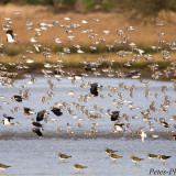 Golden Plovers & Lapwings in flight