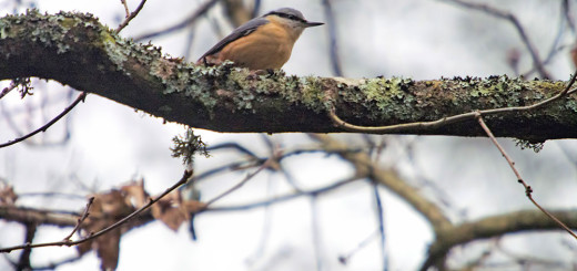 Nuthatch on tree branch