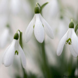 3 Snowdrops