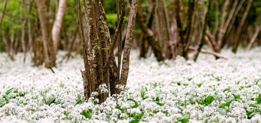 Carpet of Ramson